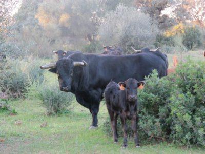 bravo-bull-farm-visit-seville
