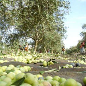 olive oil visit seville